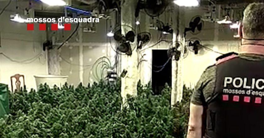 Desmantelan en Sabadell un clan que blanqueó 3 millones del tráfico de marihuana