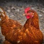 Diez detenidos en la Ribera Alta por narcotráfico, blanqueo de capitales y peleas de gallos